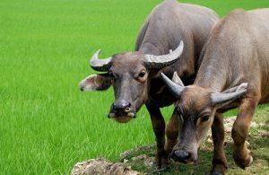 Trâu là loài gia súc điển hình